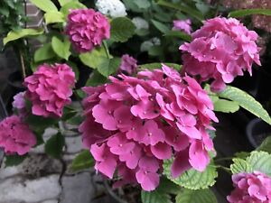 Beautiful Garden Plants - Hydrangea and Daylily - all for $20