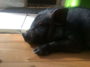 Baby pigs to give away to a good home