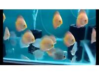 Discus fish for sale 3.5 inches