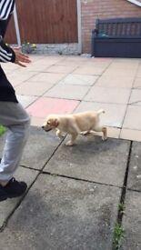 Golden Labrador puppy for Sale 9 weeks old