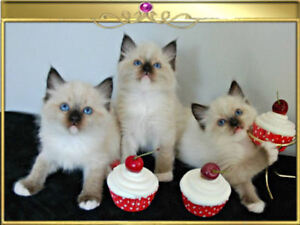 Handsome Registered Ragdoll Kittens Looking For A Forever Home