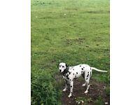 Beautiful Dalmatian girl