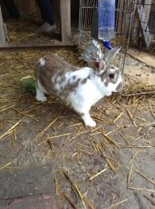 Virile male bunny for sale