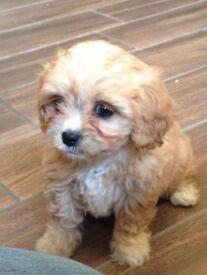 Cavachon Pups for sale