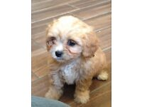 Cavachon Pups for sale