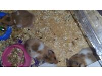 Baby Hamsters ready to be rehomed very friendly been handled from 1st week born.