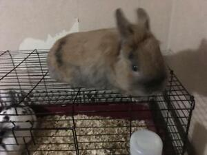 "Adult Male Rabbit - Lionhead: ""Peanut"""