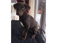 Beautiful female chocolate puppy for sale