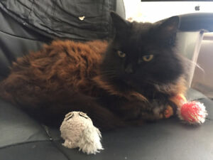 *LOST* -  black, long-haired Cat (South Vancouver)