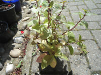 Plants for sale-Peppermint plants in a 10 cm pot