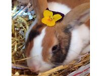 Female, (unspeyed) rabbit -free to loving home