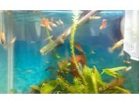 Tropical fish Guppies x6