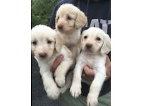 Labradoodles f1 puppies