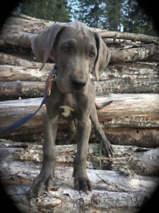 Great Dane Pups Available Now...