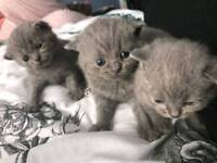 British short blue kittens