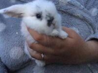 Baby mini lops for sale ready now