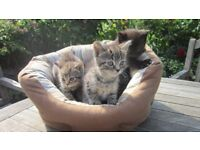 Kittens; Smokey tigers ready for new homes