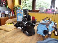 Beautiful Burmese Kittens Available Boys & Girls Lovely Temperaments Very Loving & Friendly