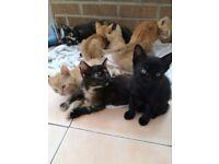 Kittens for Sale, Tortoiseshell, Ginger & Black