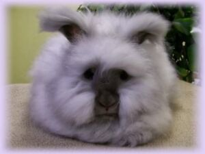 Looking for an English Angora