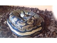 Ball python and viv