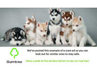 HOME RAISED MALE AND FEMALE HUSKY PUPPIES - Read the description before replying to the ad!!