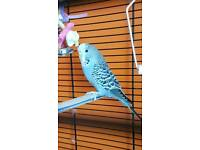 Young Male Budgie & Cage