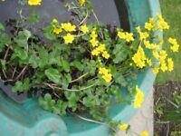 MARGINAL POND PLANTS MARSH MARIGOLDS/KINGCUPS