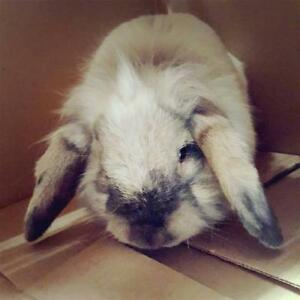 "Adult Male Rabbit - English Lop: ""Rootbeer Float"""