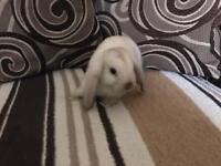 Mini Lop rabbits for sale
