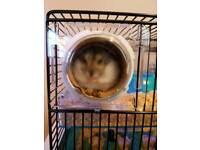 Cute and cuddly Jojo. Dwarf Hamster
