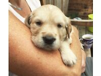 Update - Probably all sold now - Golden Retriever Puppies - Lincolnshire