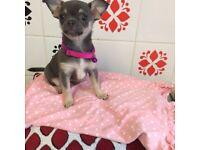 Stunning tiny chihuahua girl puppy