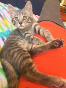 Veeda, Grey Tabby Kitty for Adoption with KLAWS