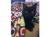 Loving Home Needed for Two Amazing Black Shorthair Cats - 1 older male, 1 younger female