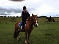 **£25 for 2 days a week . 14 hh New Forest pony for share **