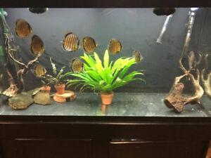 90 Gallon Aquarium with 10 Wild Caught Reo Nanay Discus