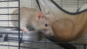 3 Rats and a cage