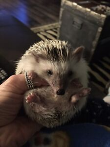 Linus the hedge hog
