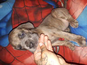 CKC REGISTERED Quality Great Dane Puppies