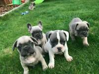 French Bulldog X Puppys