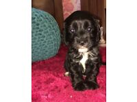 Gorgeous cavapoo puppies 4 boys and 1 girl