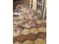 Beautiful chunky Dogue De Bordeaux puppies