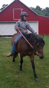 11 year old Welsh pony