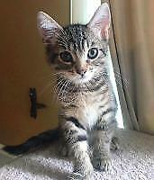 "Baby Male Cat - Domestic Short Hair: ""Halldor"""