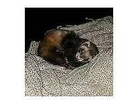 Male ferret