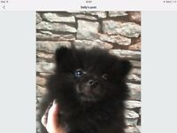 German spitz Klein puppies 1 black girl,1 black boy