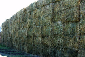 Alfalfa Bales with some Timothy & Orchard Grass BIG SQUARE