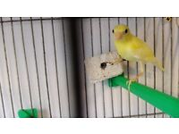 Raza Canaries