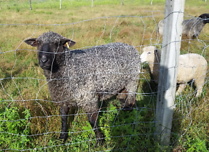 Cotswold Ram (3 yr old) - Pure Bred with Papers